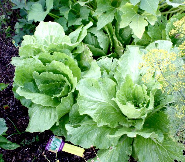 garden cleanup cabbage