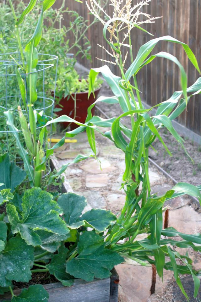 garden cleanup corn